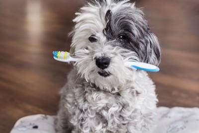 歯ブラシをくわえたトイプードル