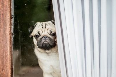窓の外を見つめるパグ