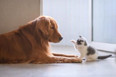 子猫とゴールデンレトリーバー