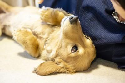 寝転んで飼い主を見つめるダックスフンド
