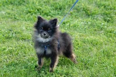 ハーネスを付けた小型犬