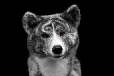 虎毛の秋田犬の真顔