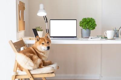 椅子の上で寛ぐ柴犬