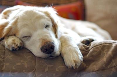 ソファーで寝ているゴールデンレトリバー
