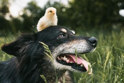 ひよこを頭に乗せている犬