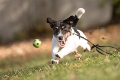 ボールを追いかけるリードを着けた犬
