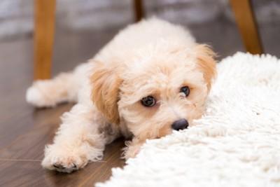 白いフワフワな物を噛んでいる犬