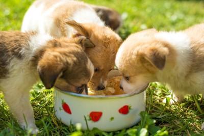 食事をしている三匹の子犬
