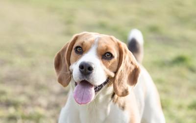こちらに笑顔をむけるビーグル犬