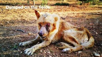 野に横たわる病気の犬
