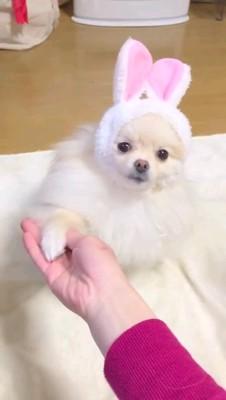 お手をする白い犬