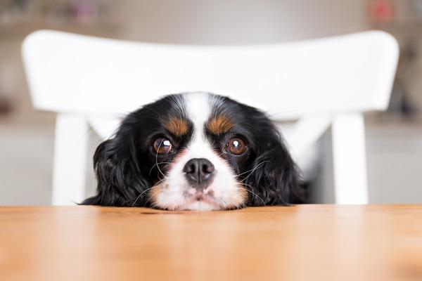 テーブルに顎を乗せる犬