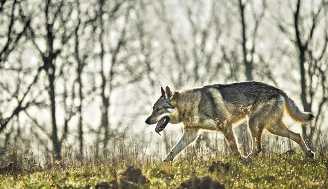 草原とオオカミ