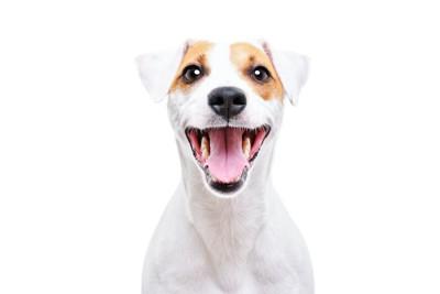 口を開けて嬉しそうにこちらを見つめる犬