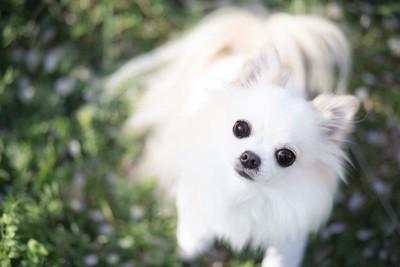 まん丸な瞳で見上げる白い犬