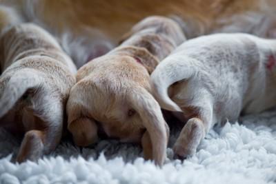 3頭のゴールデン・レトリーバーの子犬のお尻