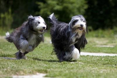 走る2匹のビアデッドコリー
