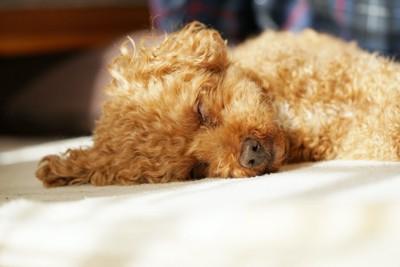 気持ちよさそうに眠るトイプードル