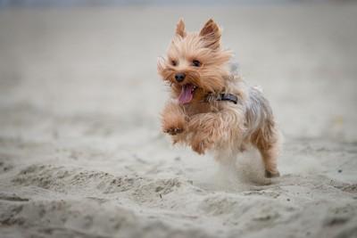ダッシュで駆け寄ってくる犬