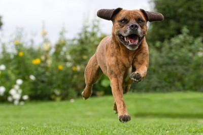走り寄ってくる犬