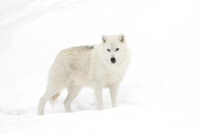 雪の中のホッキョクオオカミ