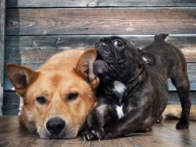 犬を噛むフレンチブルドッグ