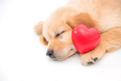 ハートと眠るゴールデン・レトリーバーの子犬