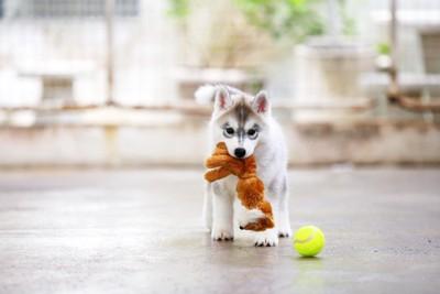 おもちゃをくわえる子犬