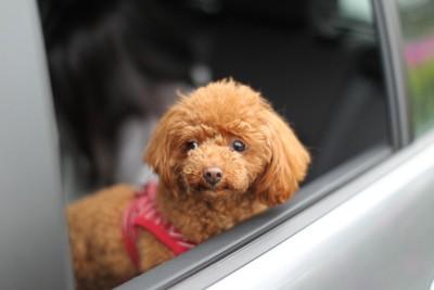 車にのっている犬