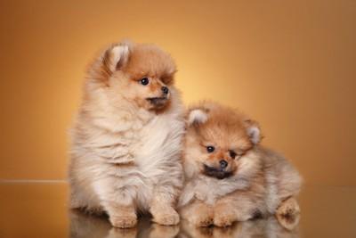 寄り添う二頭のポメラニアンの子犬
