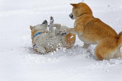 雪の上で遊ぶ2匹の柴犬
