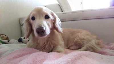 #毛布の上でリラックスしている愛犬#