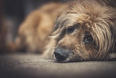 悲しそうな顔で床に伏せている犬