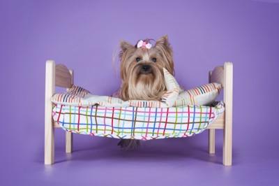 ベッドの上に座るヨークシャテリア