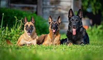 芝生の上の3頭のジャーマンシェパード