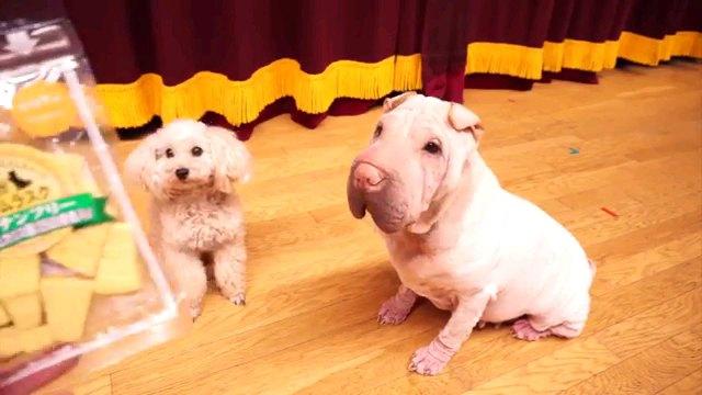 オヤツみる二匹の犬