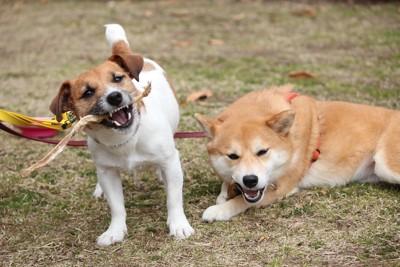 2頭でオヤツを食べる犬