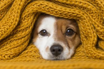 ニットにくるまって顔を出している犬