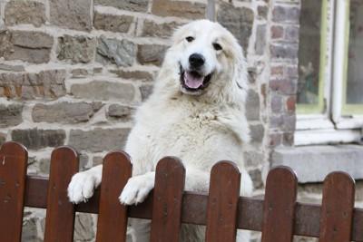 笑顔の白い大型犬