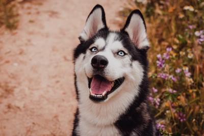 笑顔で見上げるハスキー