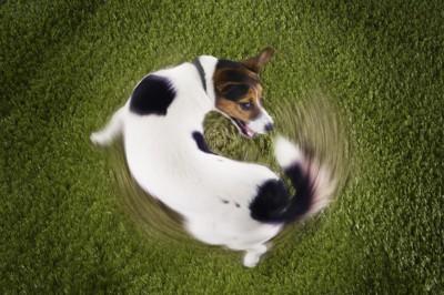 しっぽを追いかけている犬の写真