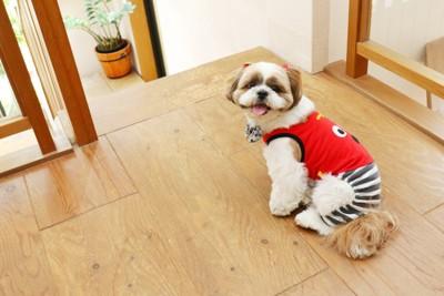 赤い服を着たシーズー