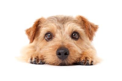 こちらを見つめ伏せる犬