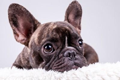 大きな耳のフレンチブルドッグ