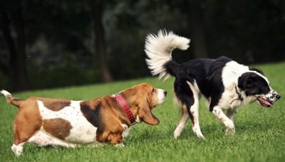 白黒の犬とお尻のニオイを嗅ぐ垂れ耳の茶色い犬