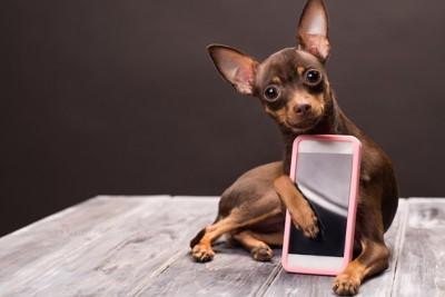 スマートフォンを抱きしめているチワワ