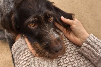 セーターの人の膝にあご乗せする犬