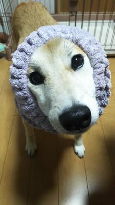 ターバンをする柴犬