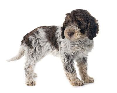 ポーチュギーズウォータードッグの子犬