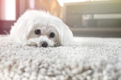 カーペットに伏せる白い犬